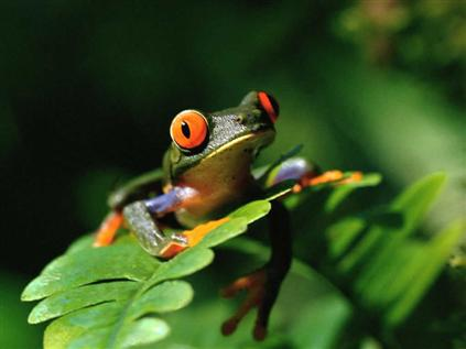 Redeyed_Tree_Frog
